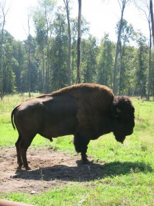 североамериканский бизон