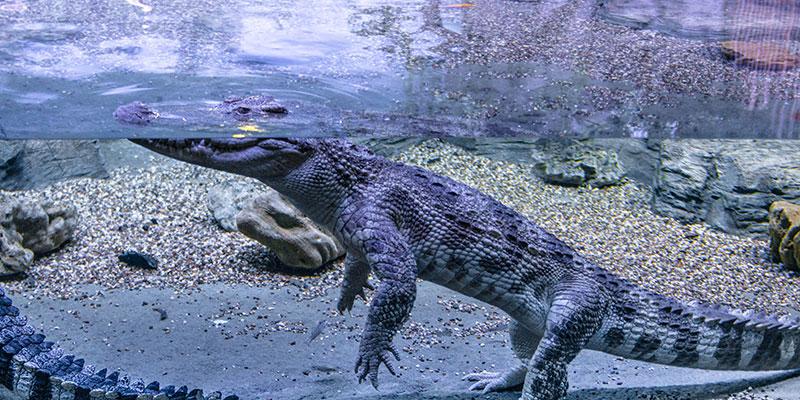 Крокодил в Океанариуме Крокус Сити