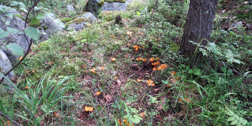 Съедобные грибы Карелии фото: лисички