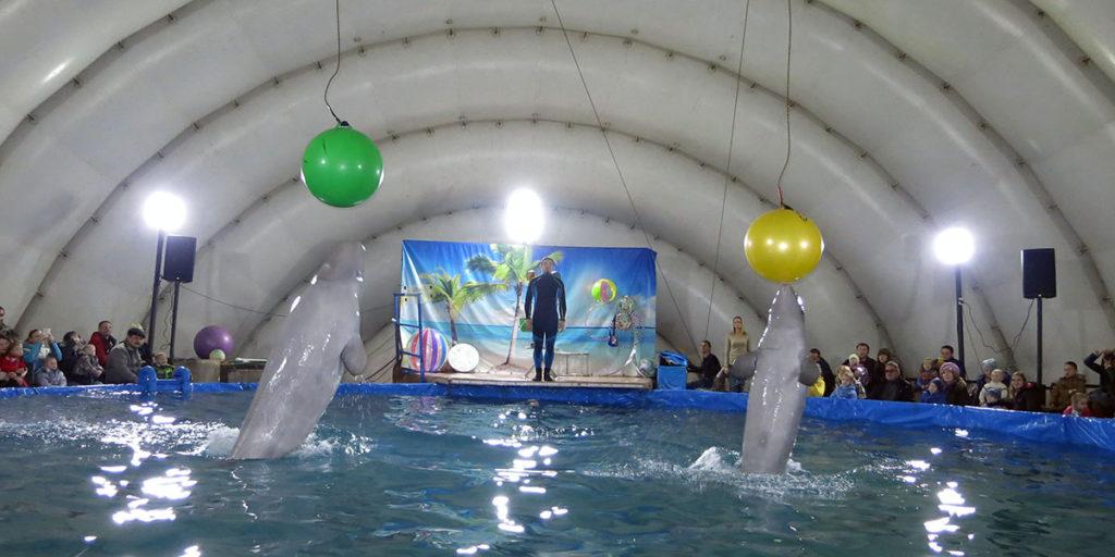 Белухи в Орле демонстрируют прыжки