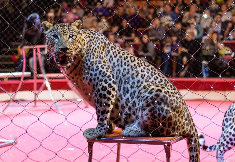 Леопарды Персии в Орле